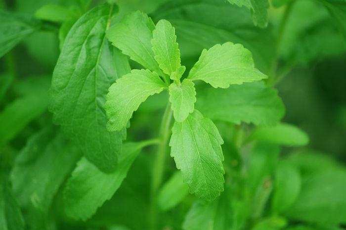 Stévia: um adoçante natural que já vem sendo utilizado inclusive em refrigerantes.