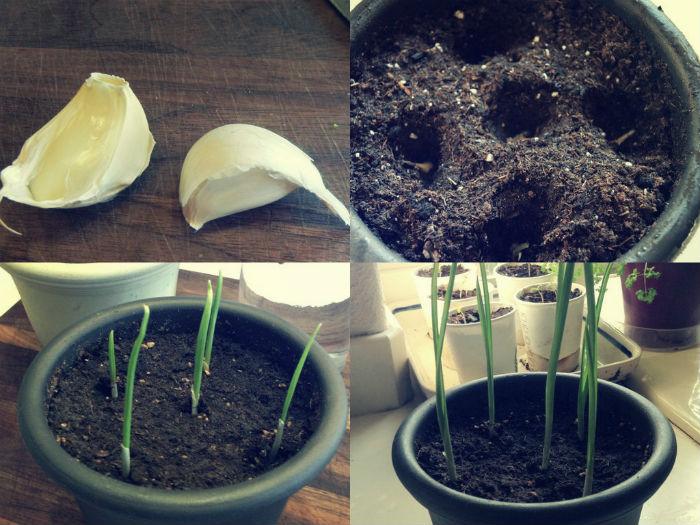 plantar-alhos-casa-2